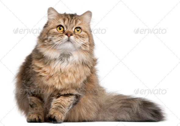 British Longhair cat, 1 year old, in front of white background - Stock Photo - Images