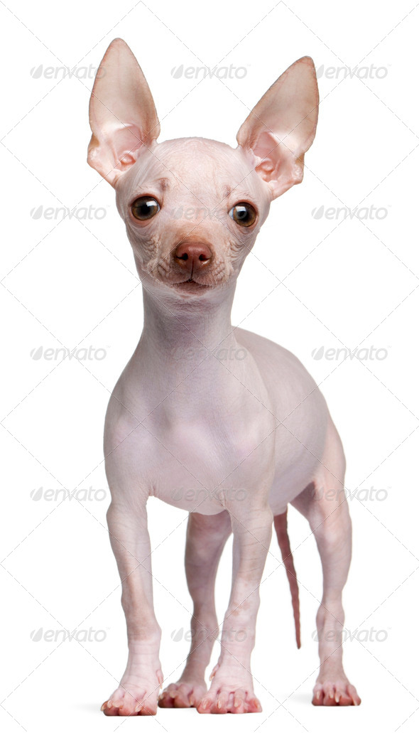 Hairless Chihuahua, 5 months old, standing in front of white background - Stock Photo - Images
