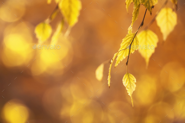 Autumn background with orange, yellow birch leaves and golden sun lights - Stock Photo - Images