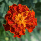 Closeup of mexican marigold flower - PhotoDune Item for Sale