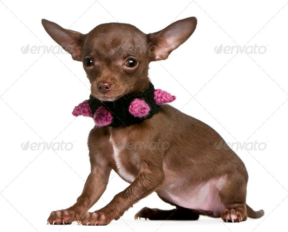 Chihuahua wearing collar, 6 months old, sitting in front of white background - Stock Photo - Images