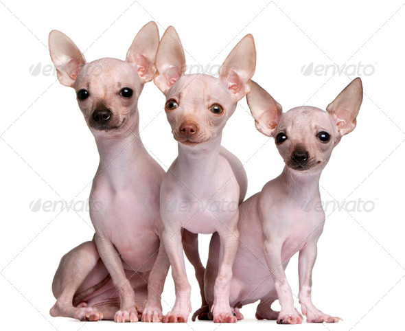 Hairless Chihuahuas, 5 and 7 months old, in front of white background - Stock Photo - Images