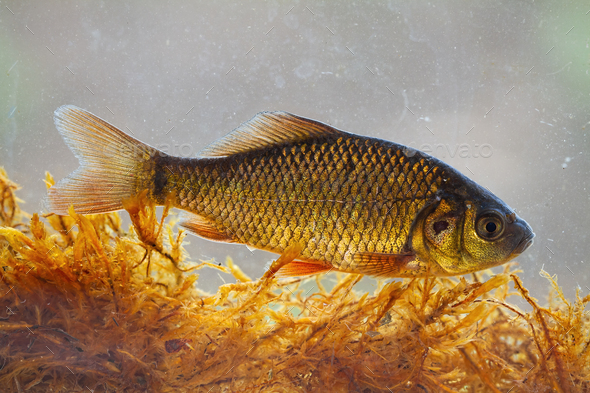 Alive young crucian carp diving in river water under surface - Stock Photo - Images