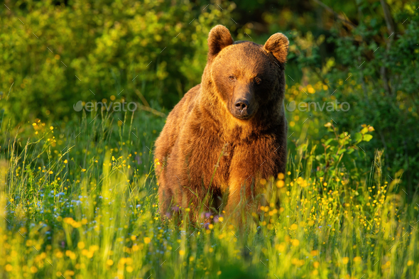 Majestic brown bear walking on meadow in summer at sunset - Stock Photo - Images