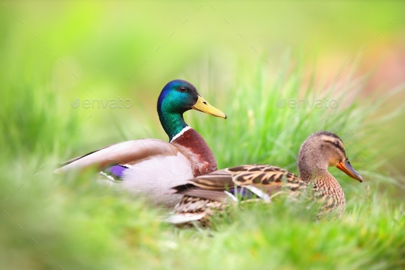 Two mallard sitting in grass in summertime nature - Stock Photo - Images