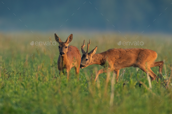 Roe deer couple sniffing on field in summer nature - Stock Photo - Images