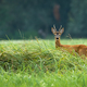 Attentive roe deer buck standing on meadow in summertime - PhotoDune Item for Sale