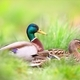 Two mallard sitting in grass in summertime nature - PhotoDune Item for Sale