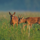 Roe deer couple sniffing on field in summer nature - PhotoDune Item for Sale