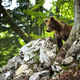 Young brown bear standing on rock in summer nature - PhotoDune Item for Sale