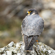 Magnificent peregrine falcon sitting on rock in spring nature from rear view - PhotoDune Item for Sale