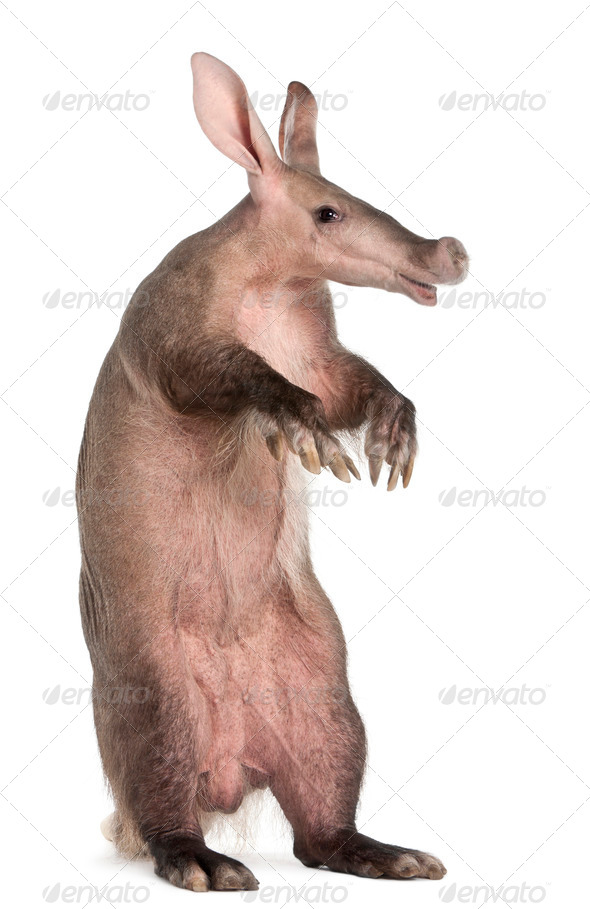 Aardvark, Orycteropus, 16 years old, standing in front of white background - Stock Photo - Images