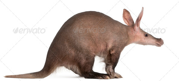 Aardvark, Orycteropus, 16 years old, in front of white background - Stock Photo - Images