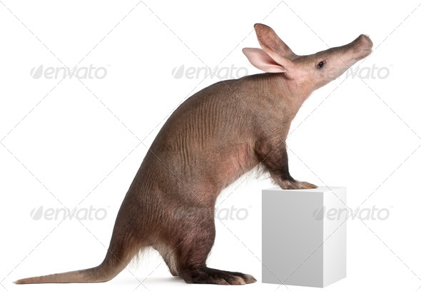 Aardvark, Orycteropus, 16 years old, standing on box in front of white background - Stock Photo - Images