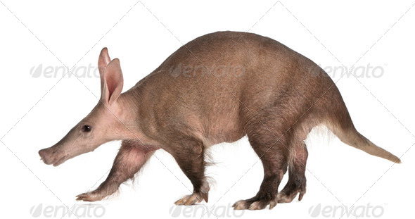 Aardvark, Orycteropus, 16 years old, walking in front of white background - Stock Photo - Images