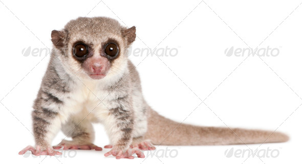 Fat-tailed Dwarf Lemur, Cheirogaleus medius, 11 years old, in front of white background - Stock Photo - Images