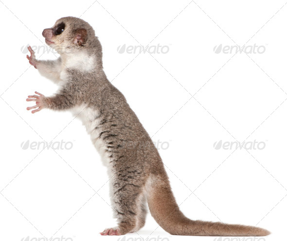 Fat-tailed Dwarf Lemur, Cheirogaleus medius, 11 years old, standing in front of white background - Stock Photo - Images