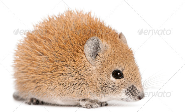Golden Spiny Mouse, Acomys russatus, 1 year old, in front of white background - Stock Photo - Images