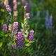 Purple lupine blooms. Closeup of bright flowers in green grass - PhotoDune Item for Sale