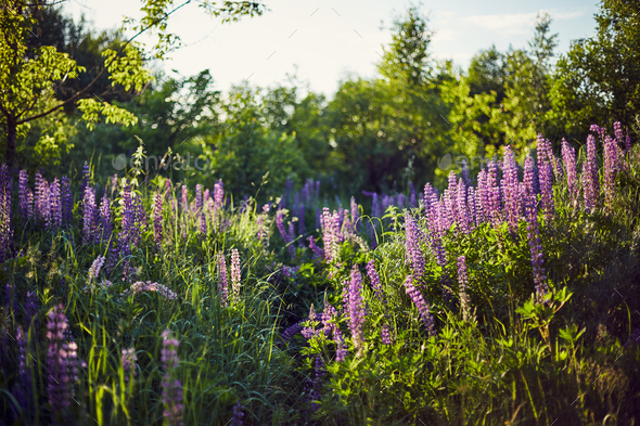 Purple lupine blooms. Closeup of bright flowers in green grass - Stock Photo - Images