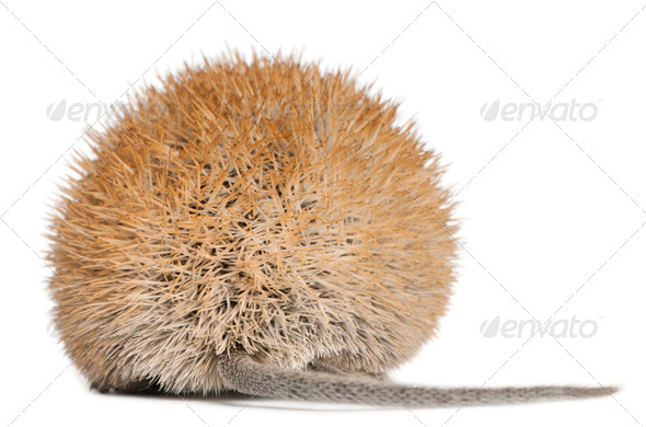 Rear view of Golden Spiny Mouse, Acomys russatus, 1 year old, in front of white background - Stock Photo - Images
