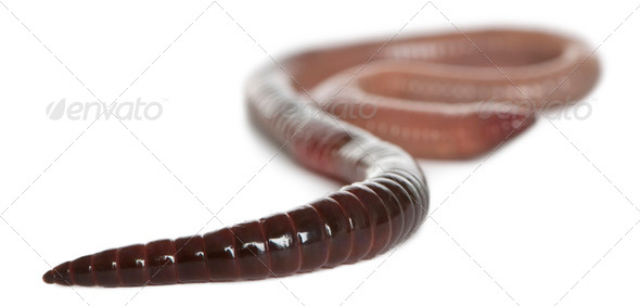 Earthworm, Lumbricus terrestris, in front of white background - Stock Photo - Images