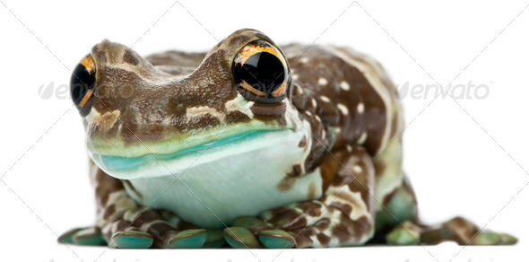 Amazon Milk Frog, Trachycephalus resinifictrix, in front of white background - Stock Photo - Images