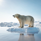 Polar bear on ice floe. Melting iceberg and global warming. - PhotoDune Item for Sale