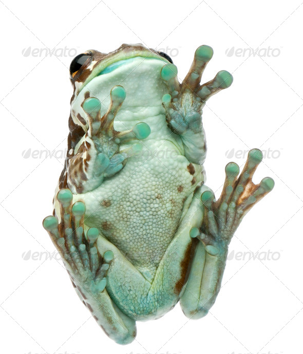 Low angle view of Amazon Milk Frog, Trachycephalus resinifictrix, in front of white background - Stock Photo - Images