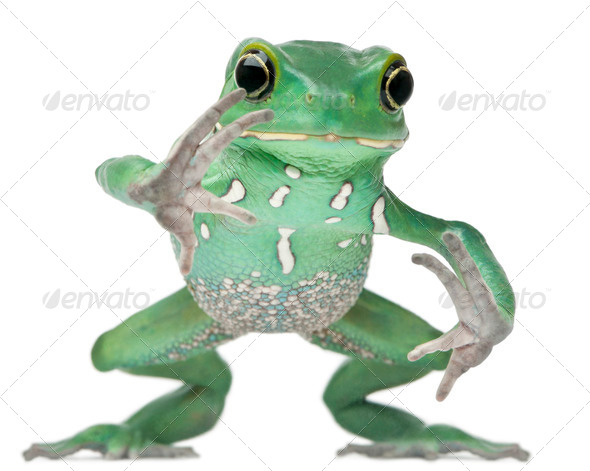 Waxy Monkey Leaf Frog, Phyllomedusa sauvagii, hopping in front of white background - Stock Photo - Images