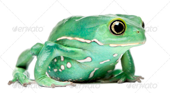 Waxy Monkey Leaf Frog, Phyllomedusa sauvagii, in front of white background - Stock Photo - Images