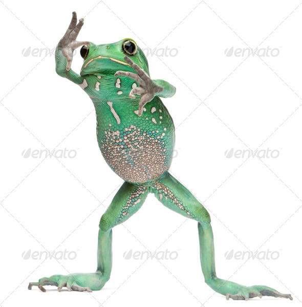 Waxy Monkey Leaf Frog, Phyllomedusa sauvagii, standing in front of white background - Stock Photo - Images