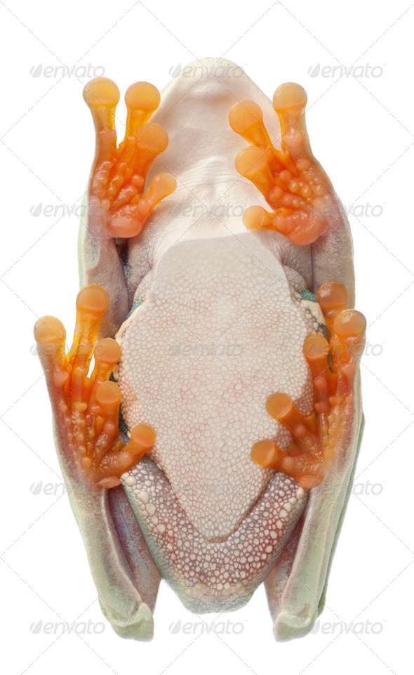 Low angle view of Red-eyed Treefrog, Agalychnis callidryas,  in cryptic water conservation posture - Stock Photo - Images
