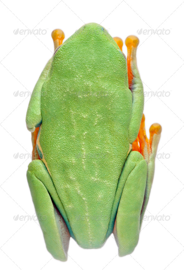 High angle view of Red-eyed Treefrog, Agalychnis callidryas, in cryptic water conservation posture - Stock Photo - Images