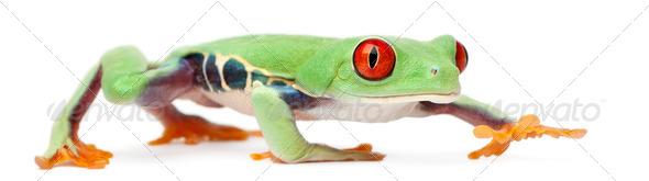 Red-eyed Treefrog, Agalychnis callidryas, walking in front of white background - Stock Photo - Images