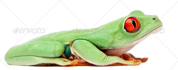 Red-eyed Treefrog, Agalychnis callidryas, sitting in front of white background - Stock Photo - Images