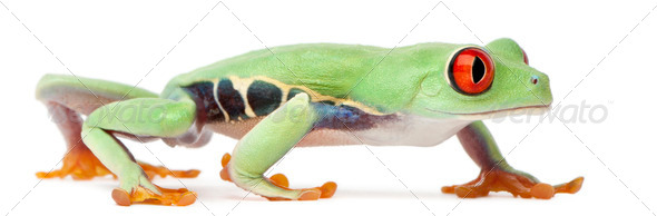 Red-eyed Treefrog, Agalychnis callidryas, walking in front of white background - Stock Photo - Images