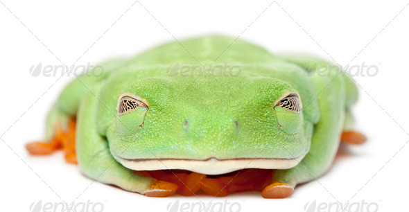 Red-eyed Treefrog, Agalychnis callidryas, with eyes closed in front of white background - Stock Photo - Images