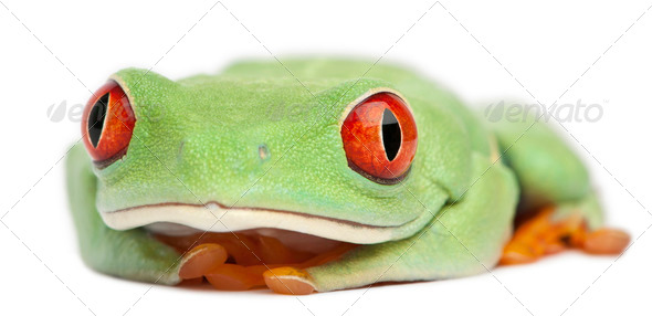 Red-eyed Treefrog, Agalychnis callidryas, in front of white background - Stock Photo - Images