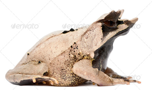 Long-nosed Horned Frog, Megophrys nasuta, 18 months old, in front of white background - Stock Photo - Images