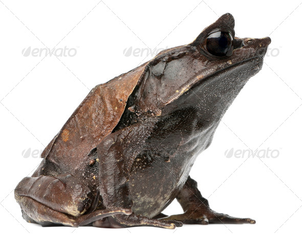 Long-nosed Horned Frog, Megophrys nasuta, in front of white background - Stock Photo - Images