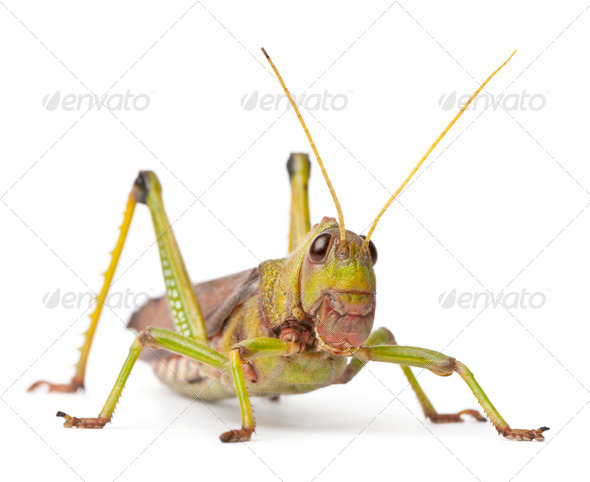 Giant Grasshopper, Tropidacris collaris, in front of white background - Stock Photo - Images