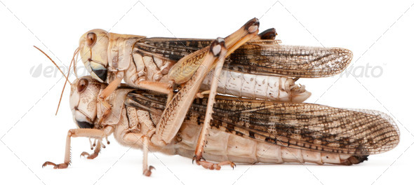 Two migratory locust, Locusta migratoria, in front of white background - Stock Photo - Images