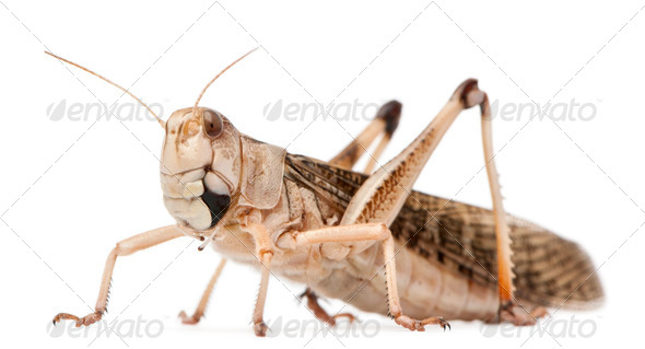 Migratory locust, Locusta migratoria, in front of white background - Stock Photo - Images