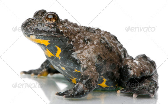 Yellow-Bellied Toad, Bombina variegata, in front of white background - Stock Photo - Images
