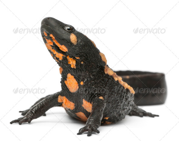 Laos Warty Newt, Paramesotriton laoensis, in front of white background - Stock Photo - Images