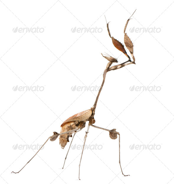 Wandering Violin Mantis, Gongylus gongylodes, in front of white background - Stock Photo - Images
