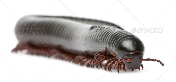 Millipede, Myriapoda, Spirostreptus giganteus, in front of white background - Stock Photo - Images