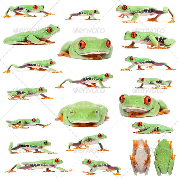 Red-eyed Treefrogs, Agalychnis callidryas, in front of white background - Stock Photo - Images