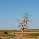 Lonely Old Dead Tree on Road Side in Remote Countryside. Suloszowa Tree in Poland - PhotoDune Item for Sale